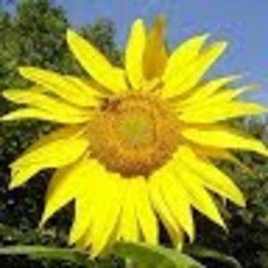 Meet your Posher, Sunflower field